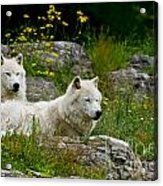 Arctic Wolf Pictures 1128 Acrylic Print