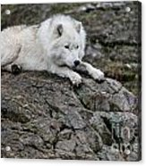 Arctic Wolf Pictures 1142 Acrylic Print