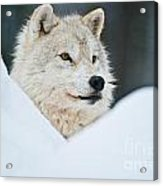 Arctic Wolf Pictures 1144 Acrylic Print