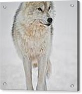 Arctic Wolf Pictures 1146 Acrylic Print