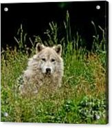 Arctic Wolf Pictures 1172 Acrylic Print