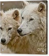 Arctic Wolf Pictures 1174 Acrylic Print