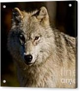 Arctic Wolf Pictures 1224 Acrylic Print