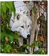 Arctic Wolf Pictures 1228 Acrylic Print