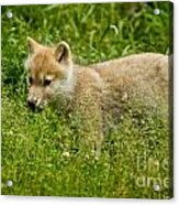 Arctic Wolf Pictures 341 Acrylic Print
