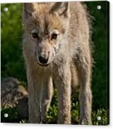 Arctic Wolf Pictures 345 Acrylic Print