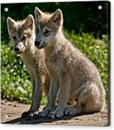 Arctic Wolf Pictures 346 Acrylic Print
