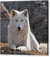 Arctic Wolf Pictures 518 Acrylic Print