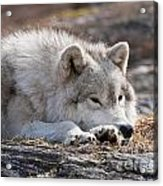Arctic Wolf Pictures 526 Acrylic Print