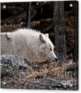 Arctic Wolf Pictures 541 Acrylic Print