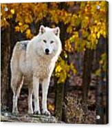 Arctic Wolf Pictures 709 Acrylic Print
