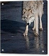 Arctic Wolf Pictures 766 Acrylic Print