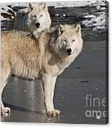 Arctic Wolf Pictures 812 Acrylic Print