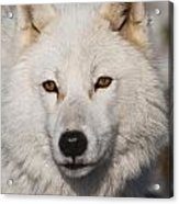Arctic Wolf Pictures 814 Acrylic Print