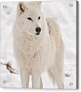 Arctic Wolf Pictures 844 Acrylic Print