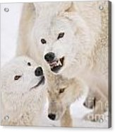 Arctic Wolf Pictures 872 Acrylic Print