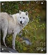 Arctic Wolf Pictures 922 Acrylic Print