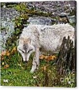 Arctic Wolf Pictures 927 Acrylic Print