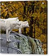 Arctic Wolf Pictures 930 Acrylic Print