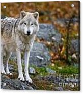 Arctic Wolf Pictures 942 Acrylic Print
