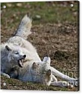Arctic Wolf Pictures 996 Acrylic Print