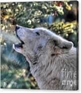 Arctic Wolf Song Acrylic Print by Skye Ryan-Evans