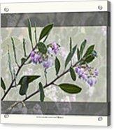 Arctostaphylos Manzanita 'monica' Acrylic Print
