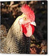 Are You Chicken Acrylic Print