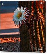 Argentine Cactus Acrylic Print