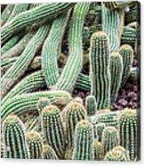 Argentine Giant Cactus Acrylic Print