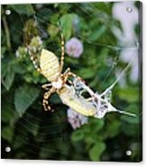 Argiope Spider Top Side Horizontal Acrylic Print