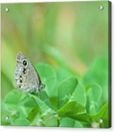 Argus Rings Butterfly Acrylic Print