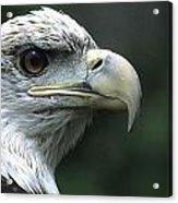 Aristocratic Bald Eagle Acrylic Print
