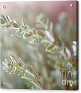 Arizona Sage Acrylic Print
