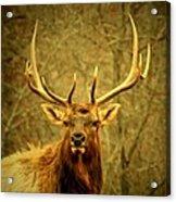Arkansas Elk Acrylic Print