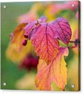 Arrowwood Leaf - Featured 3 Acrylic Print