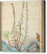 Artemisia Abrotanum Acrylic Print