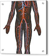 Arteries And Veins Of The Human Body Acrylic Print