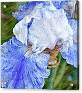 Artistic Japanese Iris Blue And White Flower Acrylic Print