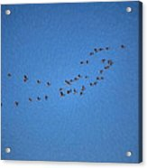 Artistic Painterly On The Way To Summer Stretch Of Geese Moving North Acrylic Print