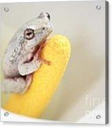 Arum Lily Frog Acrylic Print