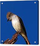 Ash-throated Flycatcher Acrylic Print
