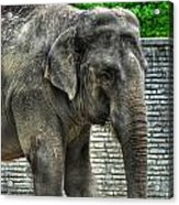 Asian Elephant  0a Acrylic Print