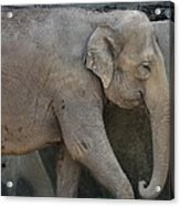 Asian Elephant Acrylic Print