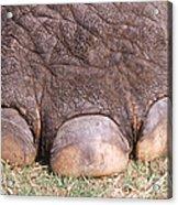 Asian Elephant Foot Acrylic Print