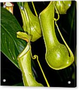 Asian Pitcher Plant Acrylic Print