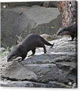 Asian Small Clawed Otter - National Zoo - 01132 Acrylic Print