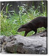 Asian Small Clawed Otter - National Zoo - 01135 Acrylic Print