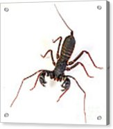 Asian Whipscorpion Acrylic Print