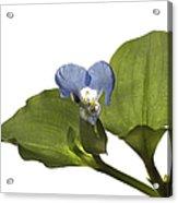 Asiatic Day Flower Acrylic Print